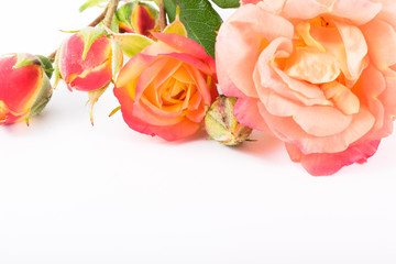 rosa flowers  close-up macro. Spring summer border template floral background. greeting and celebration card.