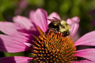 Bee profile sits on Echinacea flower close cup