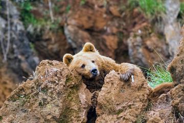Wall Mural - Bear