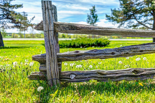 White dandelion flowers in green grass in Quebec, Canada with wooden fence and trail