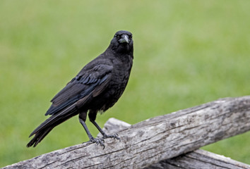 Black Crow sitting on a wooden fence stares at the camera.