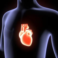 3D Illustration of Human Body Organs (Heart Anatomy)