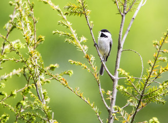 Black capped Chickadee with green background.