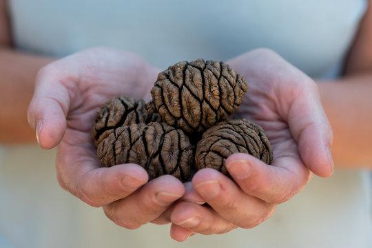 Handful of Sequoia Seeds