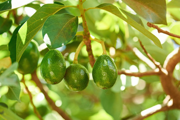 Group of avocado hang on tree