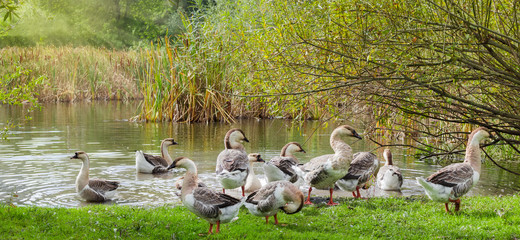 Domestic geese on the shore of a pond