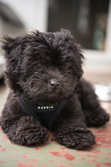 トイプードルの子犬、11週歳