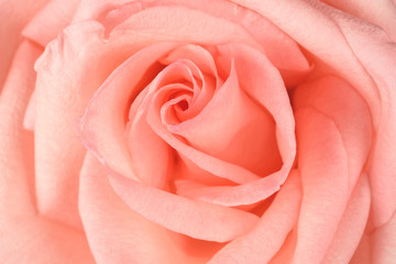 Beautiful pink rose close-up. Macro photo, floral background.
