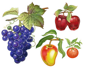 Realistic drawing of grape, apple, mandarin.