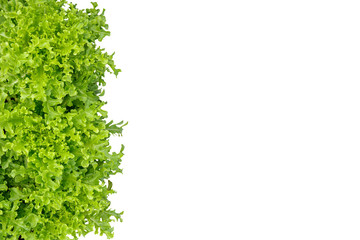 Green Oak Leaf lettuce isolated on white background, clipping path included. Nature greenery frame for organic clean food concept.