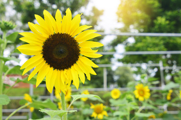 Sunflower field landscape or Beautiful sunflower in the green farm or Sunflower is nice and warm in summer field with blooming with sunlight