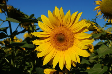 A flower of a sunflower blossoms on a field of sunflowers on a sunny day.
