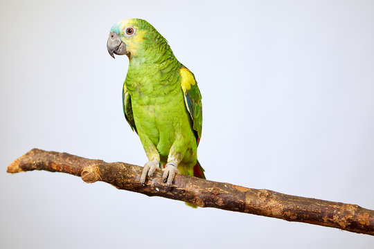 parrot Amazon green sitting on a tree branch, isolated concept