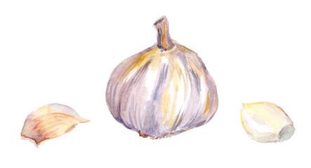 Garlic with parts. Watercolor