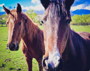 Photo depicts two beautiful lovely brown white horse gazing on a horse yard. Two beautiful young brown horses on a farm green field. Close up, blurred background, good sunny weather.