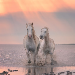 Beautiful white horses run gallop in the water at soft sunset light, National park Camargue, Bouches-du-rhone department, Provence - Alpes - Cote d'Azur region, south France