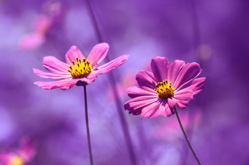 Purple flowers with a painted background. Beautiful flowers cosmos in field.