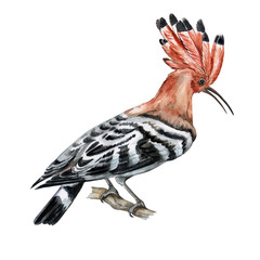 The hoopoe bird. Illustration. Watercolor