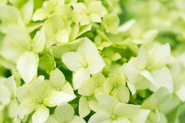 White hydrangea flowerclose up. Flower gentle background