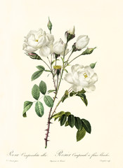 Old illustration of Rosa campanulata alba. Created by P. R. Redoute, published on Les Roses, Imp. Firmin Didot, Paris, 1817-24
