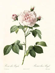 Old illustration of Rosa alba regalis. Created by P. R. Redoute, published on Les Roses, Imp. Firmin Didot, Paris, 1817-24