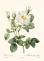 Old illustration of Rosa alba foliacea. Created by P. R. Redoute, published on Les Roses, Imp. Firmin Didot, Paris, 1817-24