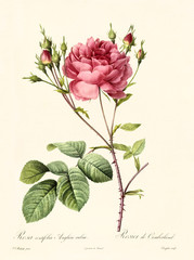 Old illustration of Rosa centifolia anglica rubra. Created by P. R. Redoute, published on Les Roses, Imp. Firmin Didot, Paris, 1817-24