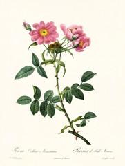 Old illustration of Rosa collina monsoniana. Created by P. R. Redoute, published on Les Roses, Imp. Firmin Didot, Paris, 1817-24