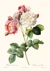 Old illustration of Rosa damascena. Created by P. R. Redoute, published on Les Roses, Imp. Firmin Didot, Paris, 1817-24