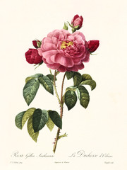 Old illustration of Rosa gallica aurelianensis. Created by P. R. Redoute, published on Les Roses, Imp. Firmin Didot, Paris, 1817-24