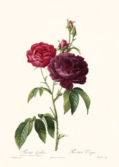 Old illustration of Rosa gallica purpuro violacea magna. Created by P. R. Redoute, published on Les Roses, Imp. Firmin Didot, Paris, 1817-24