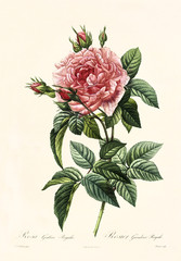 Old illustration of Rosa gallica regalis. Created by P. R. Redoute, published on Les Roses, Imp. Firmin Didot, Paris, 1817-24