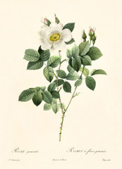 Old illustration of Rosa geminata. Created by P. R. Redoute, published on Les Roses, Imp. Firmin Didot, Paris, 1817-24