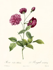 Old illustration of Rosa indica dichotoma. Created by P. R. Redoute, published on Les Roses, Imp. Firmin Didot, Paris, 1817-24