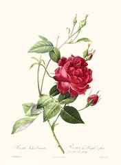 Old illustration of Rosa indica cuenta. Created by P. R. Redoute, published on Les Roses, Imp. Firmin Didot, Paris, 1817-24