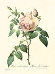 Old illustration of Rosa indica fragrans. Created by P. R. Redoute, published on Les Roses, Imp. Firmin Didot, Paris, 1817-24