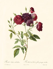 Old illustration of Rosa indica subviolacea. Created by P. R. Redoute, published on Les Roses, Imp. Firmin Didot, Paris, 1817-24