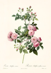 Old illustration of Rosa multiflora carnea. Created by P. R. Redoute, published on Les Roses, Imp. Firmin Didot, Paris, 1817-24