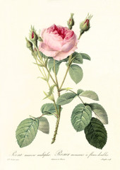 Old illustration of Rosa muscosa multiplex. Created by P. R. Redoute, published on Les Roses, Imp. Firmin Didot, Paris, 1817-24