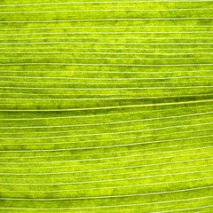 Grape leaves texture leaf background macro green light closeup
