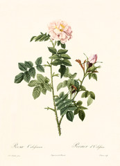 Old illustration of Rosa orbefsanea. Created by P. R. Redoute, published on Les Roses, Imp. Firmin Didot, Paris, 1817-24