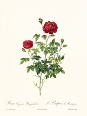 Old illustration of Rosa pomponia burgundiaca. Created by P. R. Redoute, published on Les Roses, Imp. Firmin Didot, Paris, 1817-24