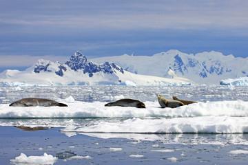 Crabeater seals on ice floe, Antarctic Peninsula, Antarctica
