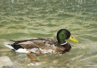Amazing mallard duck swims in lake under sunlight landscape. Rom