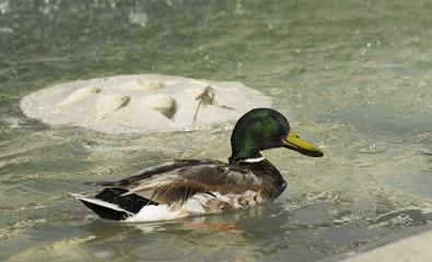 Amazing mallard duck swims in lake with blue water under sunligh
