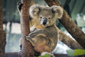 Photo sur Toile Koala A cute koala.