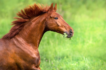 Red stallion portrait in motion on green field
