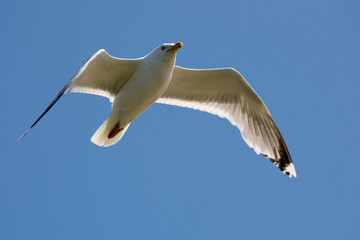 Seagull captured in flight on a blue sky