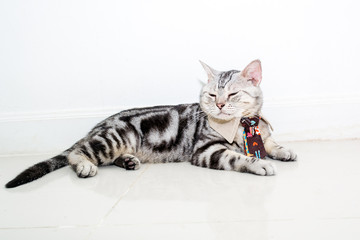 Cute American shorthair cat with neck tie