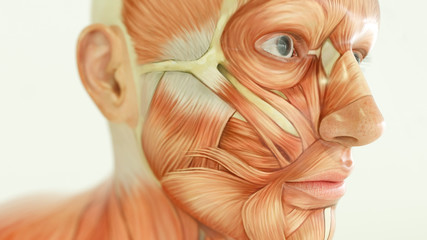 Anatomy of human body, muscles- 3D Rendering